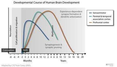 développement cérébral